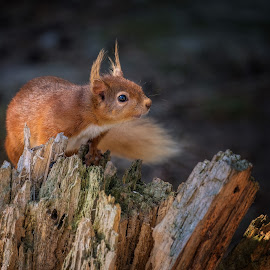 In Danger  by Phil Robson - Animals Other ( squirrel, forest, uk, red squirrel, woods, endangered, wildlife,  )