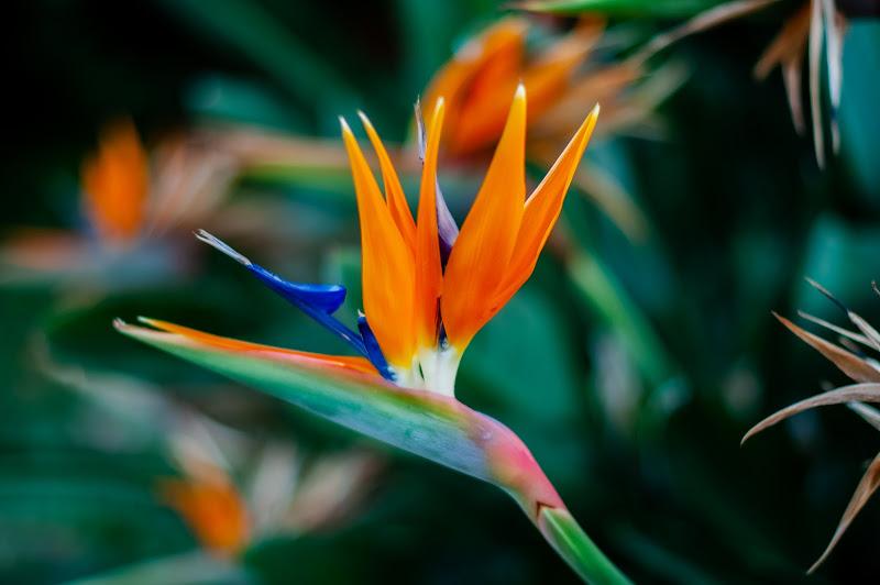 """Fiore di Strelitzia, conosciuto come """"Uccello del paradiso"""" di BeatriceCapone69"""