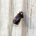 Multicolored Asian Lady Beetle Pupa