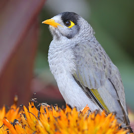 Noisy Miner  by Anthony Goldman - Animals Birds ( sydney, niosy, nature, bird, botanical gardens, wild, miner, colors, wildlife,  )