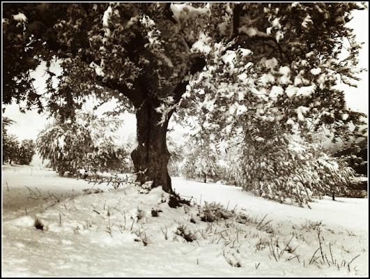Albero d'olivo sotto la neve di superpupa