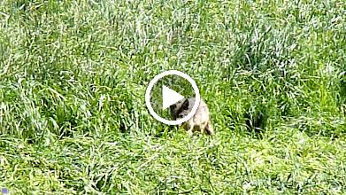 Video: Coyote