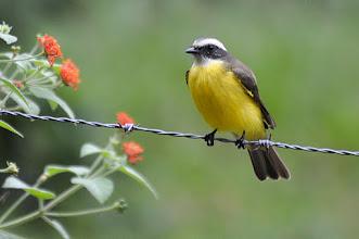Photo: Social Flycatcher (Rotscheitel-Maskentyrann); Bacalar, QR