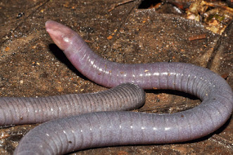 Photo: ...are good also for a finding of a caecilian