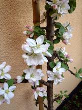 Photo: naše jabloň v Aramě - our aple tree