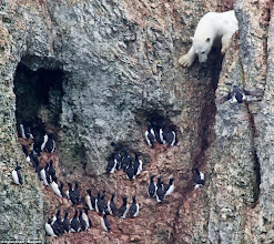 Photo: hungry polar going after birds' eggs