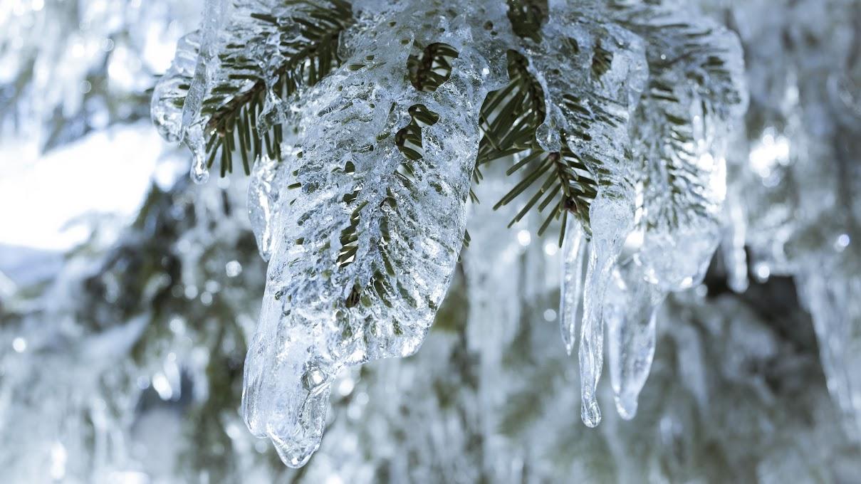 凍った杉の葉