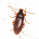 Comb Claw Beetle