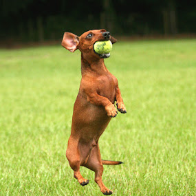 Great Catch! by Debby  Raskin - Animals - Dogs Portraits ( canine, ball, dashund, catch, play, dog, leap, jump )