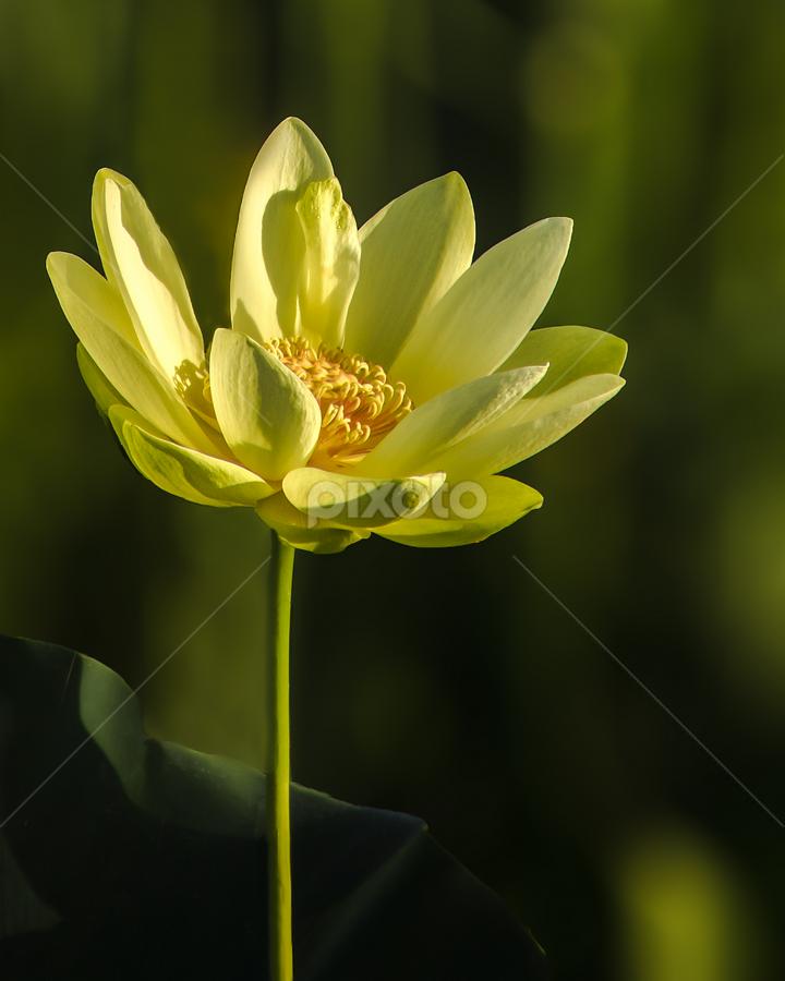 Sunrise Kiss Single Flower Flowers Pixoto