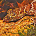 Banded bent-toed gecko