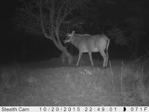 Photo: A hybrid cow; Uma fêmea híbrida.