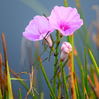 Saltmarsh Morning Glory