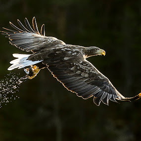 White tailed eagle by Dennis Hallberg - Animals Birds ( bird, white tailed eagle., bird of prey, eagle, flying eagle,  )