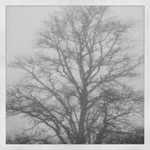 Photo: Old Oak silhouette in the fog
