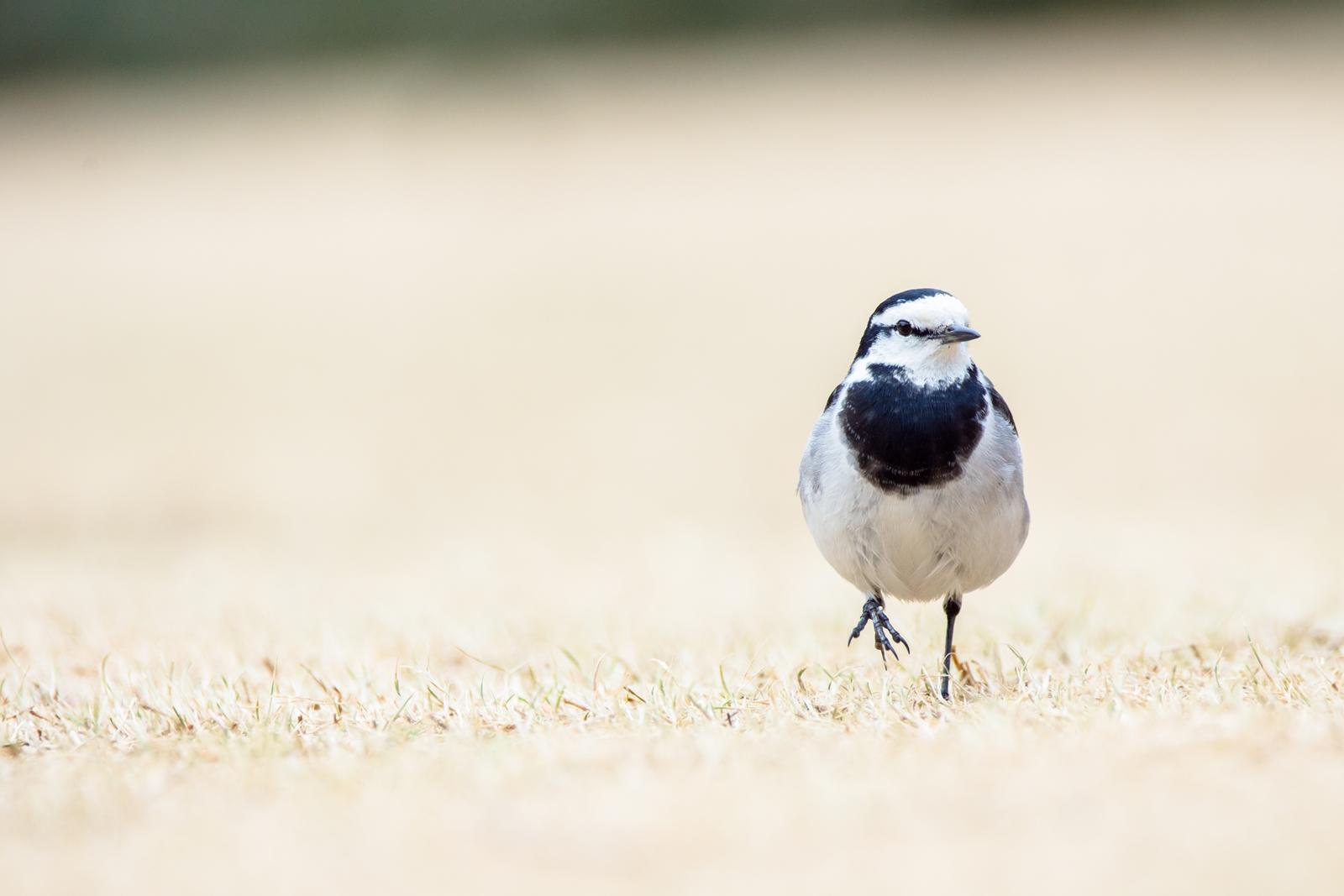 Photo: 「静かな散歩」 / Silent walk.  静かな原っぱ でも感じる 足元から少しずつ 小さな小さな春の声  White Wagtail. (ハクセキレイ)  Nikon D7200 SIGMA 150-600mm F5-6.3 DG OS HSM Contemporary  #birdphotography #birds #kawaii #nikon #sigma #小鳥グラファー  ( http://takafumiooshio.com/archives/747 )