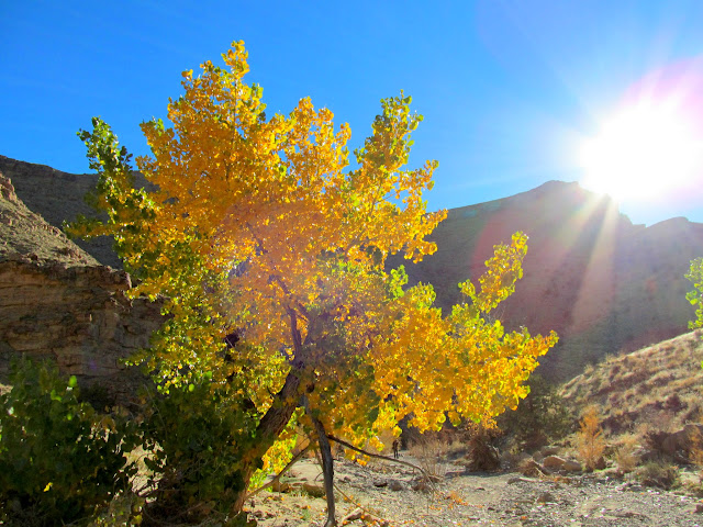 Backlit cottonwood tree