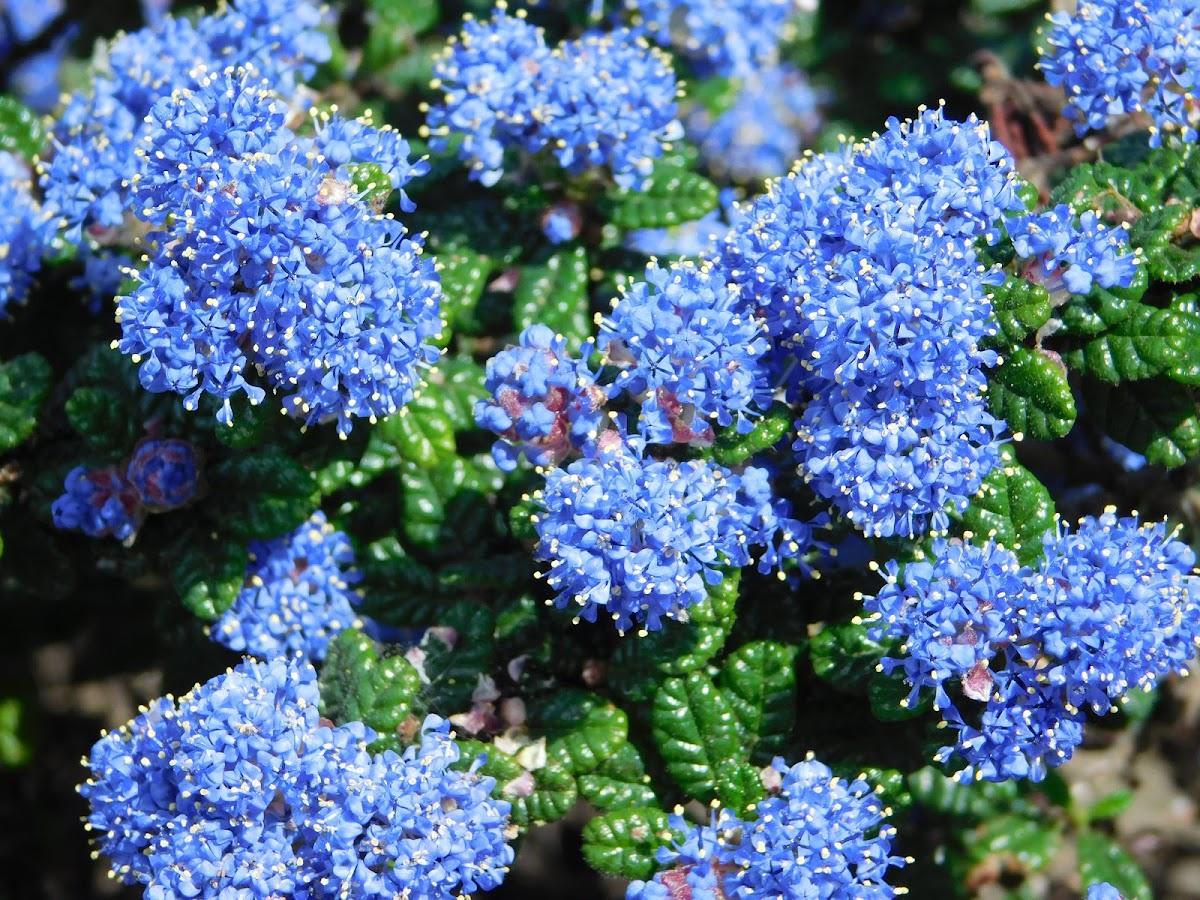 California Lilac, Soapbush