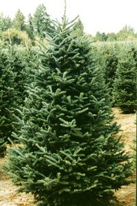 Fraser Fir is a Christmas classic. Beautiful deep green color with soft needles. Will fill your house with a fresh Christmas scent!   Each tree comes with a fresh cut, to make sure it lasts in your tree stand.