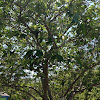 Japanese Yoshina Cherry Tree