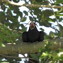 Common Koel