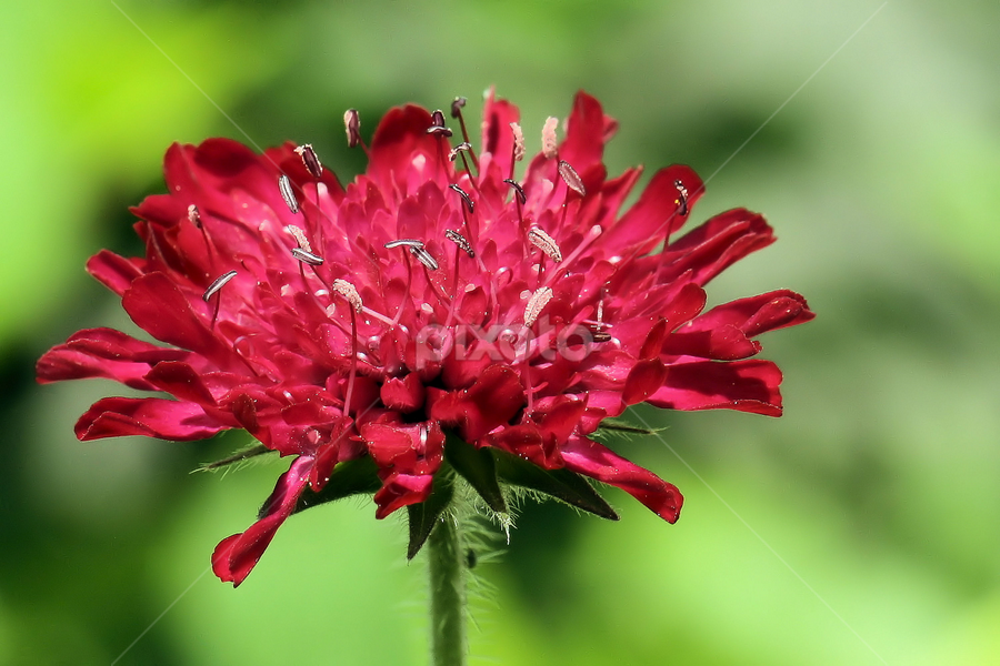 Knautia macedonica by Val  Ford - Nature Up Close Flowers - 2011-2013