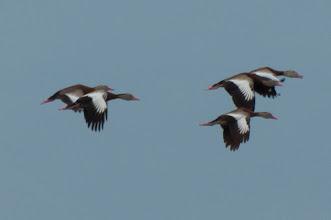 Photo: Black-bellied Whistling Duck (Rotschnabel-Pfeifgans); Bacalar, QROO