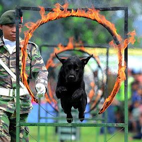 Army Dog by Syafizul  Abdullah - Animals - Dogs Running
