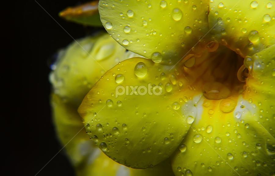 perls on yellow by Manindra Patnaik - Nature Up Close Flowers - 2011-2013