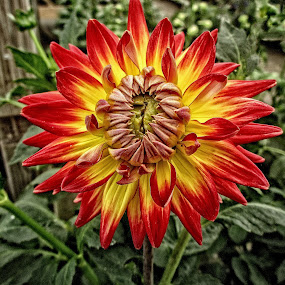 DNI dahlia 05 by Michael Moore - Flowers Single Flower (  )