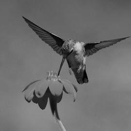 Migration Time Feeding by Thomas Mckibben - Black & White Animals (  )