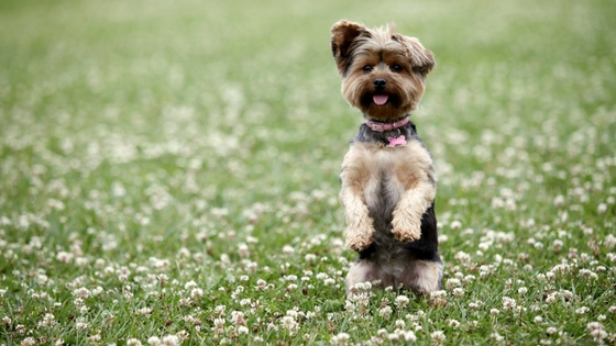 jumping dog in a field