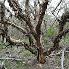 Swamp Tea-tree (follow up)
