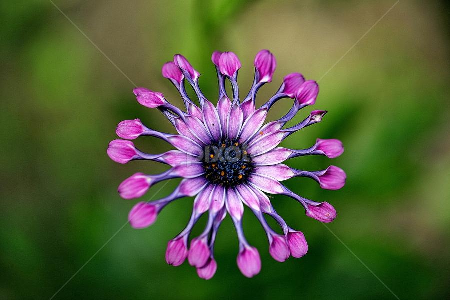 African Daisy by Michael Schwartz - Flowers Single Flower (  )