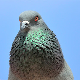 Blue Rock Pigeon  by Rajkumar Shiwani - Animals Birds