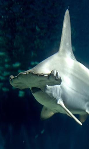 Sea Shark wallpaper