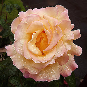 Rainy Rose by Diana Postill - Nature Up Close Flowers - 2011-2013