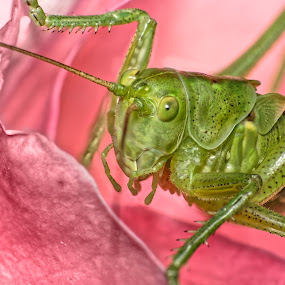 Great green bush cricket, Tettigonia viridissima by Joseph Balson - Animals Insects & Spiders ( macro, nature, insect, grasshopper, animal, rose, style, bright color, flower,  )