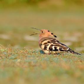 Hoopoe by Suman Basak - Animals Birds ( environement, wildlife, bird of paradise, bird photography, birding )