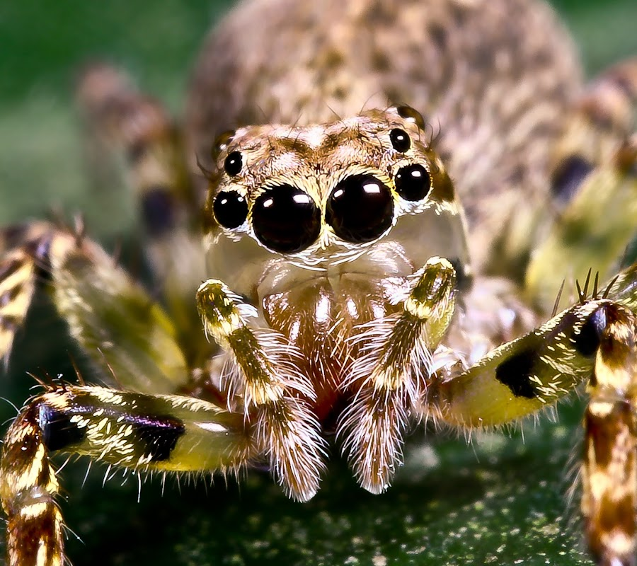 Spider by Alvin Chan Wai Mun - Animals Insects & Spiders