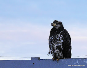 Photo: Juvenile Bald Eagle at Lands End, Homer Spit