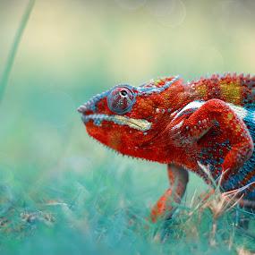 Chameleon, Chameleon Phanter, by Andri Priyadi - Animals Amphibians ( reptiles, animals, macro, reptile, chameleon, animal )