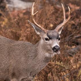 Yosemite Deer In The Rain Closeup by Eric Yiskis - Animals Other Mammals ( national park, yosemite, california, antlers, wildlife, deer )