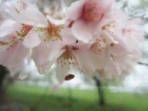 Photo: Pink apple blossoms at Eastwood Park in Dayton, Ohio.