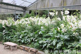 Photo: 拍攝地點: 梅峰-溫帶花卉區 拍攝植物: 百合 拍攝日期:2012_08_30_FY