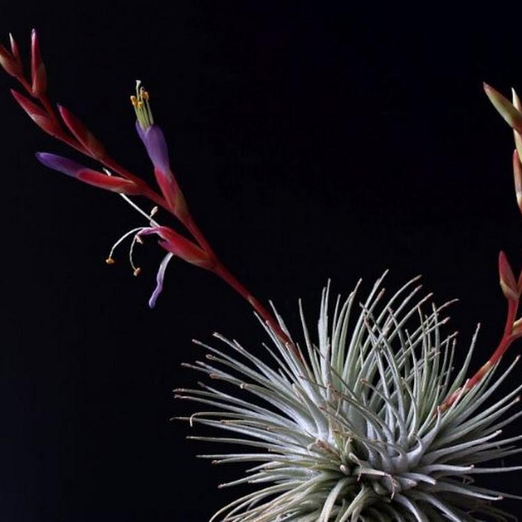 Air Plant - fuchsii v. fuchsii M size