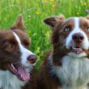 Ovčarja by Bojan Kolman - Animals - Dogs Portraits (  )