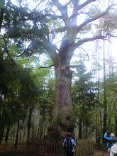 Photo: Na szlaku znalazło się parę wiekowych pomników przyrody. Pomnik przyrody nr 1.
