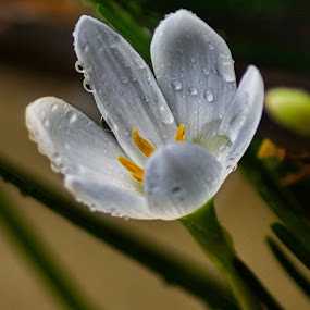Drops by Rajeev Kalyan - Nature Up Close Flowers - 2011-2013 ( waterdrops flower kitlens reversing )