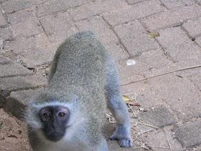 Photo: Vervett monkey